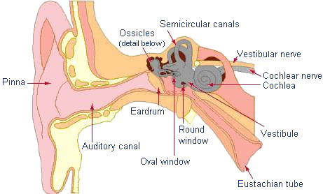Ear anatomy r gregory lowe phd pc audiology blog from ccuart Gallery